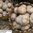 A San Severino Lucano, la prima sagra della patata