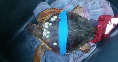 Lido Silvana, tutti insieme all'ultimo Eco Day per liberare la tartaruga ferita