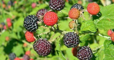 Lamponi e piccoli frutti, opportunità per Metapontino