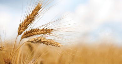 Basilicata, pubblicate le graduatorie per cereali e viticoltura