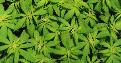 """L'eurodeputato Pedicini interviene al convegno """"Cannabis Renaissance"""""""