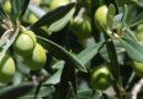 Crolla la produzione di olive in Puglia