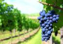 Piano nazionale di sostegno al settore vitivinicolo, aumentare la competitività dei produttori attraverso il rinnovamento degli impianti vitivinicoli